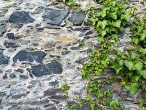 Πέτρινος τοίχος και πράσινος κλάδος κισσών Στοκ Εικόνα