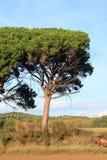 Πέτρινο δέντρο πεύκων ή parasol πεύκων στο Aude Στοκ Εικόνες