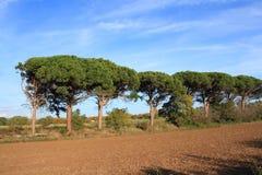 Πέτρινο δέντρο πεύκων ή parasol πεύκων στο Aude Στοκ Φωτογραφία