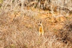 Πήγαν εκείνος ο τρόπος - suricatta Meerkat - Suricata Στοκ φωτογραφία με δικαίωμα ελεύθερης χρήσης