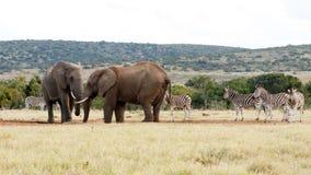 Πήραν το νερό - αφρικανικός ελέφαντας του Μπους Στοκ φωτογραφία με δικαίωμα ελεύθερης χρήσης