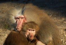 πίθηκοι αγάπης Στοκ Φωτογραφίες