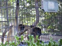 Πίθηκοι αραχνών στο ζωολογικό κήπο Στοκ Εικόνες