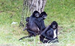 Πίθηκοι αραχνών στοκ φωτογραφίες με δικαίωμα ελεύθερης χρήσης