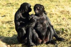 Πίθηκοι αραχνών. Στοκ φωτογραφία με δικαίωμα ελεύθερης χρήσης
