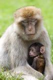 Πίθηκοι Βαρβαρίας Στοκ εικόνα με δικαίωμα ελεύθερης χρήσης