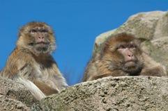 πίθηκοι Βαρβαρία δύο Στοκ φωτογραφία με δικαίωμα ελεύθερης χρήσης