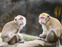 πίθηκοι δύο Στοκ Εικόνα