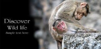 πίθηκοι δύο Στοκ φωτογραφίες με δικαίωμα ελεύθερης χρήσης