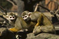 πίθηκοι δύο Στοκ Εικόνες