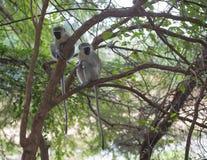 πίθηκοι δύο vervet Στοκ Εικόνες