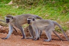 πίθηκοι δύο vervet Στοκ Εικόνα