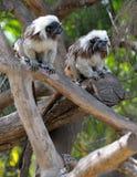πίθηκοι κλάδων Στοκ φωτογραφία με δικαίωμα ελεύθερης χρήσης