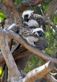πίθηκοι κλάδων Στοκ Φωτογραφία