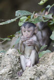 Πίθηκοι μωρών Στοκ Εικόνα