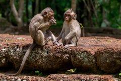 Πίθηκοι μωρών macaque που μοιράζονται τα τρόφιμα στην Καμπότζη στοκ εικόνες