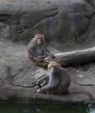 Πίθηκοι που καλλωπίζουν και που γύρω Στοκ Φωτογραφία