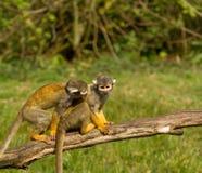 πίθηκοι που παίζουν δύο Στοκ Φωτογραφίες