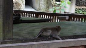 Πίθηκοι που παίζουν στο Μπαλί απόθεμα βίντεο