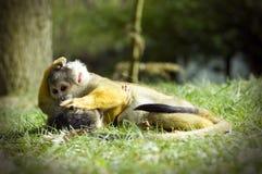 πίθηκοι που παίζουν το σ&kap Στοκ Εικόνες