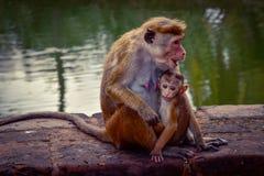 Πίθηκοι σε έναν ναό σύνθετο στοκ εικόνα με δικαίωμα ελεύθερης χρήσης