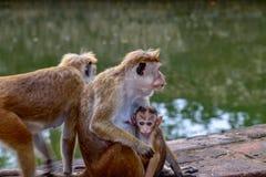 Πίθηκοι σε έναν ναό σύνθετο στοκ φωτογραφία