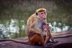 Πίθηκοι σε έναν ναό σύνθετο στοκ εικόνες