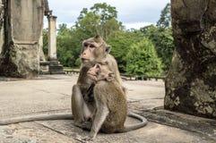 Πίθηκοι σε Angkor Wat Καμπότζη Στοκ φωτογραφίες με δικαίωμα ελεύθερης χρήσης