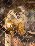 Πίθηκοι σκιούρων στο κλουβί χάλυβα Στοκ Φωτογραφία