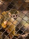 Πίθηκοι σκιούρων στο κλουβί χάλυβα Στοκ Φωτογραφίες