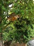 Πίθηκοι σκιούρων στοκ εικόνα με δικαίωμα ελεύθερης χρήσης