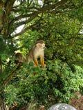 Πίθηκοι σκιούρων στοκ εικόνα
