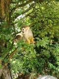 Πίθηκοι σκιούρων Στοκ Φωτογραφίες