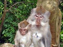 Πίθηκοι στο δασικό Μπαλί Στοκ Εικόνες