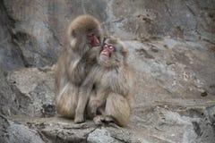 Πίθηκοι στο ζωολογικό κήπο Nogeyama, Ιαπωνία Στοκ Εικόνες