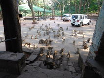 Πίθηκοι στο ναό Chandi Στοκ φωτογραφίες με δικαίωμα ελεύθερης χρήσης