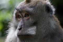 Πίθηκοι του Μπαλί Στοκ Εικόνα
