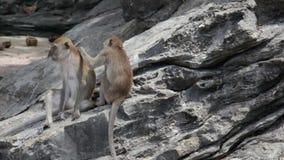 πίθηκοι δύο απόθεμα βίντεο