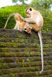 πίθηκοι δύο Στοκ Φωτογραφίες