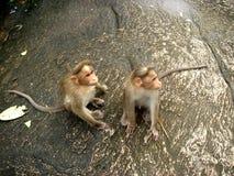 πίθηκοι στοκ φωτογραφία