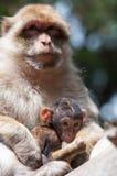 Πίθηκοι Berber Στοκ εικόνες με δικαίωμα ελεύθερης χρήσης