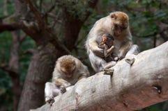 Πίθηκοι Berber Στοκ εικόνα με δικαίωμα ελεύθερης χρήσης