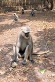 Πίθηκοι Langur που παίρνουν τα τρόφιμα στο δάσος κοντά στον κριό Jhula στην Ινδία Στοκ εικόνες με δικαίωμα ελεύθερης χρήσης