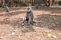 Πίθηκοι Langur στο δάσος κοντά στον κριό Jhula στην Ινδία Στοκ Φωτογραφίες