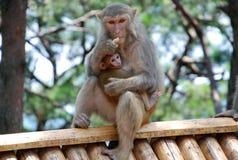 Πίθηκοι Macaque Στοκ Φωτογραφίες
