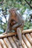 Πίθηκοι Macaque Στοκ Εικόνες