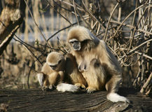 Πίθηκοι Tamarin Στοκ Φωτογραφίες