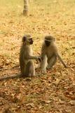 πίθηκοι vervet Στοκ Εικόνες