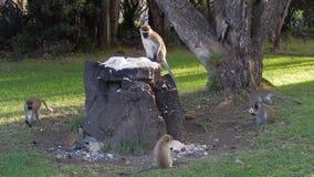 πίθηκοι vervet φιλμ μικρού μήκους