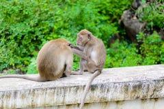Πίθηκοι & x28 καβούρι που τρώει macaque& x29  καλλωπίζοντας το ένα άλλος Στοκ εικόνα με δικαίωμα ελεύθερης χρήσης